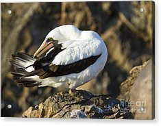 Nazca Booby Preening Acrylic Print by William H. Mullins