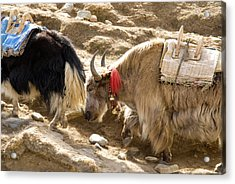 Nepal Yak Move Along The Everest Base Acrylic Print by David Noyes