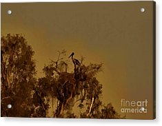 Nesting Jabiru  Acrylic Print by Douglas Barnard