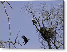Nesting Pair Of American Bald Eagles 2 Acrylic Print by Thomas Young