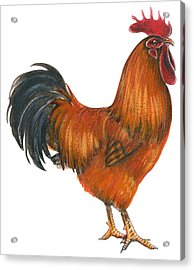New Hampshire Rooster  Acrylic Print by Anonymous