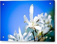 New White Magnolia Blossom Acrylic Print by Raimond Klavins
