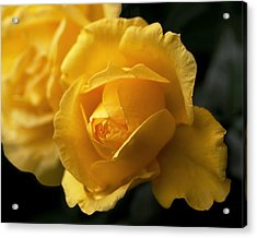 New Yellow Rose Acrylic Print by Rona Black
