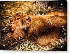 Newborn Nap Acrylic Print by Sue OConnor