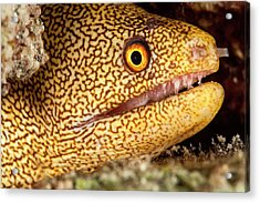 Night Dive Photograph Of Goldentail Eel Acrylic Print by James White