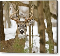 Nine Point White Tailed Buck Acrylic Print by John Vose