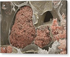 Nitrogen-fixing Bacteria Acrylic Print by Power And Syred