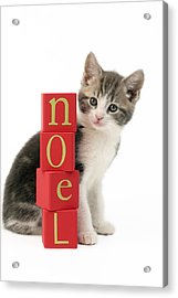 Noel Kitten Acrylic Print by Greg Cuddiford