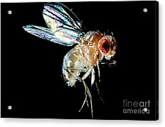 Normal Red-eyed Fruit Fly Acrylic Print by Darwin Dale