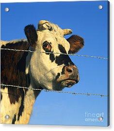 Normand Cow Acrylic Print by Bernard Jaubert