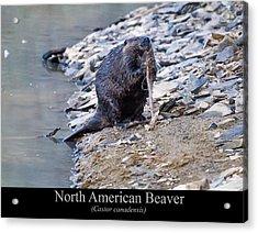 North American Beaver Acrylic Print by Chris Flees