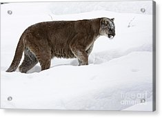 Northern Depths Cougar In The Winter Snow Acrylic Print by Inspired Nature Photography Fine Art Photography