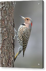 Northern Flicker Acrylic Print by Daniel Behm