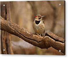 Northern Flicker Acrylic Print by Sandy Keeton
