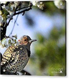 Northern Flicker Woodpecker Acrylic Print by Nava Thompson