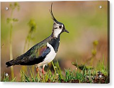 Northern Lapwing Acrylic Print by Willi Rolfes