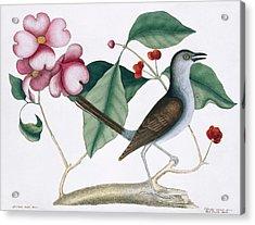 Northern Mockingbird Acrylic Print by Natural History Museum, London