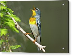Northern Parula (parula Americana Acrylic Print by Larry Ditto