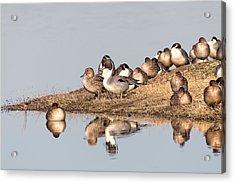 Northern Pintail Ducks Acrylic Print by Kathleen Bishop