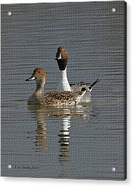 Northern Pintail Pair  Acrylic Print by Tom Janca
