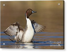 Northern Pintail Wing Flap Acrylic Print by Bryan Keil
