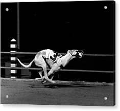 Number 3 Greyhound Running Hard Acrylic Print by Retro Images Archive