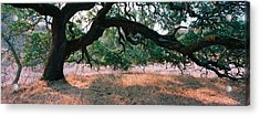 Oak Tree On A Field, Sonoma County Acrylic Print by Panoramic Images