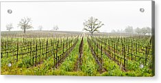 Oak Trees In A Vineyard, Guerneville Acrylic Print by Panoramic Images