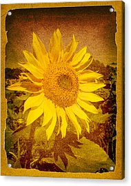 Of Sunflowers Past Acrylic Print by Bob Orsillo