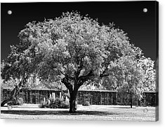 Old Oak Tree Mission San Jose Acrylic Print by Christine Till