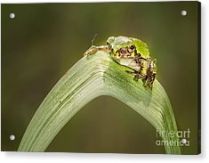 On A Leaf Acrylic Print by Timothy Hacker