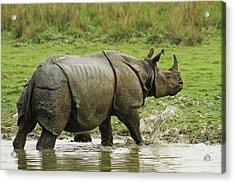 One-horned Rhinoceros, Coming Acrylic Print by Jagdeep Rajput