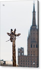 One More Bite To Outgrow The Tallest 3 - Featured 3 Acrylic Print by Alexander Senin