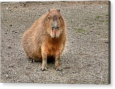 One Very Big Indifferent Rodent-the Capybara Acrylic Print by Eti Reid