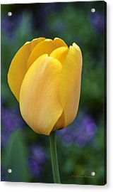 One Yellow Tulip Acrylic Print by Julie Palencia