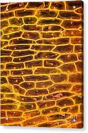 Onion Skin Acrylic Print by Garry DeLong