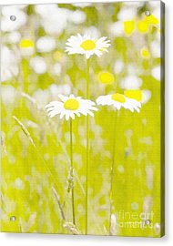 Oopsy Daisy Acrylic Print by Artist and Photographer Laura Wrede