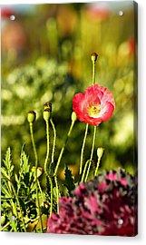 Opium Poppy Acrylic Print by Suradej Chuephanich