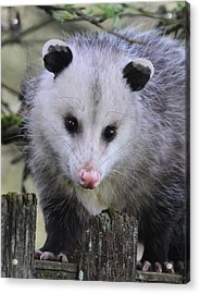 Opossum Acrylic Print by Angie Vogel