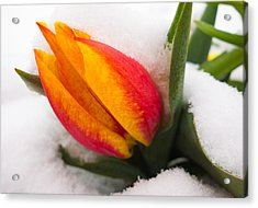 Orange And Red Tulip In The Snow Acrylic Print by Matthias Hauser