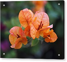Orange Bougainvillea Acrylic Print by Rona Black