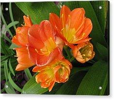 Orange Clivia Acrylic Print by Alfred Ng