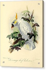 Orange Cockatoo Acrylic Print by J G Keulemans