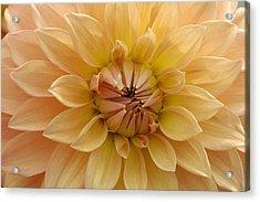 Orange Dahlia Closeup Acrylic Print by Matthias Hauser