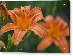 Orange Flower Acrylic Print by Kim Stafford