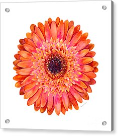 Orange Gerbera Daisy Acrylic Print by Amy Kirkpatrick