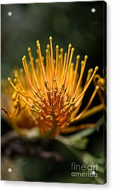 Orange Grevillea Acrylic Print by Joy Watson