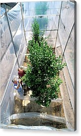 Orange Tree Growth Research Acrylic Print by Jack Dykinga/us Department Of Agriculture