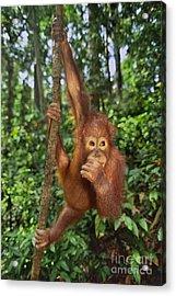 Orangutan  Acrylic Print by Frans Lanting MINT Images