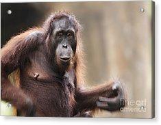 Orangutan Acrylic Print by Richard Garvey-Williams